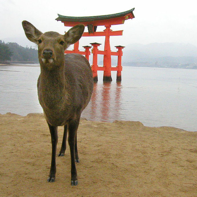 Picture of a deer in front of the Torri gate at Miyajima