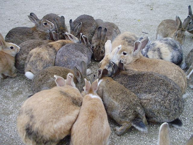 Picture of a large group rabbits on Ōkunoshima